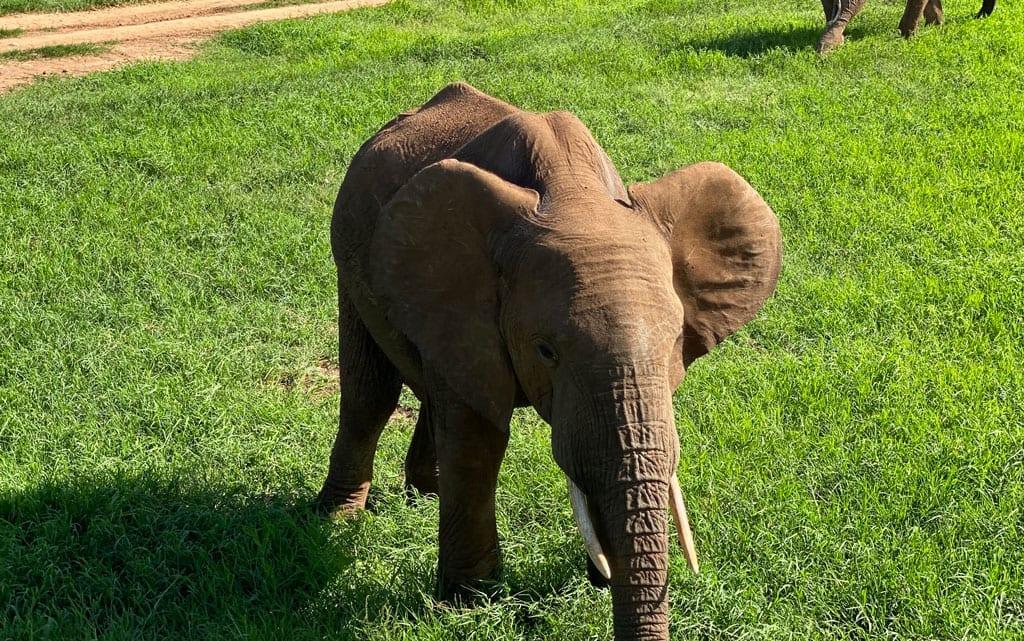 A close up of an infant elephant.